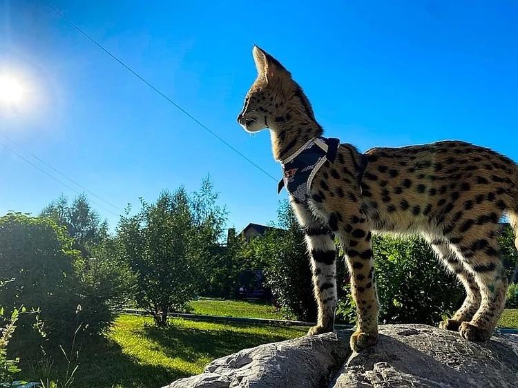 Лео всего пять месяцев, но он уже крупнее любой домашней кошки. Фото: личный архив