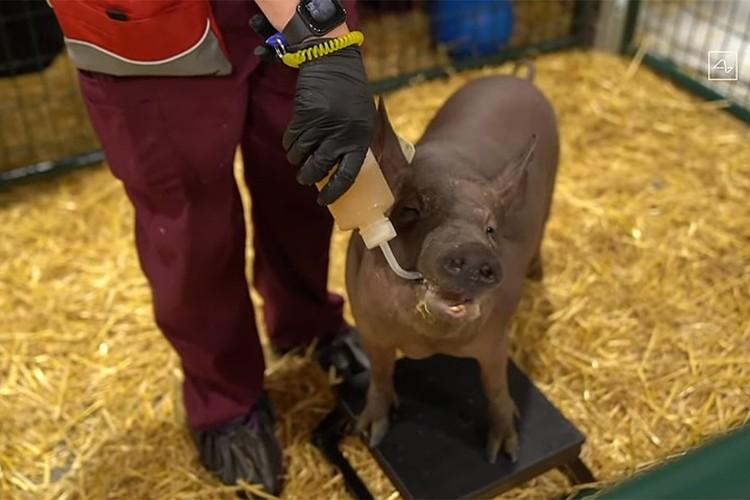 Поросенок, чей чип-имплант был уже удален, выступил доказательством, что установка и удаление девайса никак не сказываются на здоровье подопытных животных