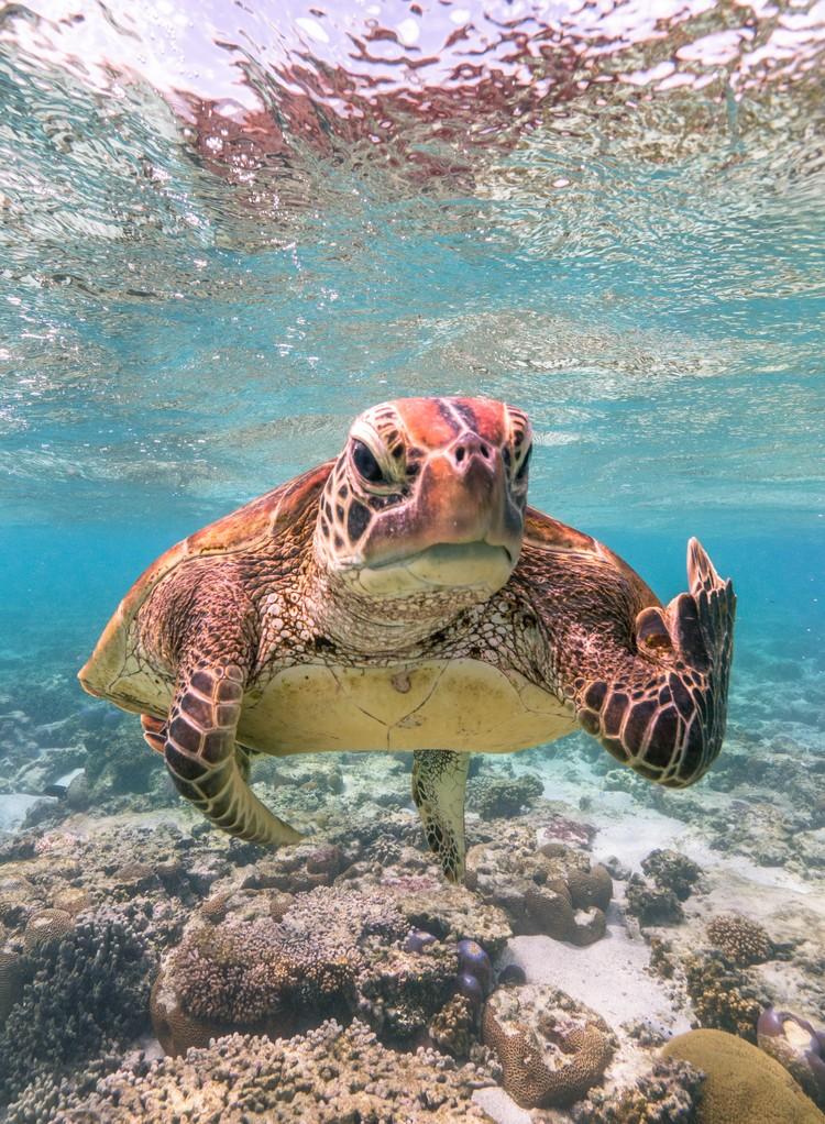 Черепаха Терри. Остров Леди Эллиот, Квинсленд, Австралия. Фото: Mark Fitzpatrick/Comedy Wildlife Photography Awards