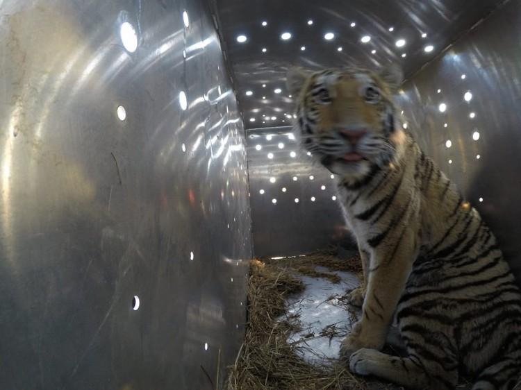 Павлик в транспортировочном контейнере. Фото: amur-tiger.ru