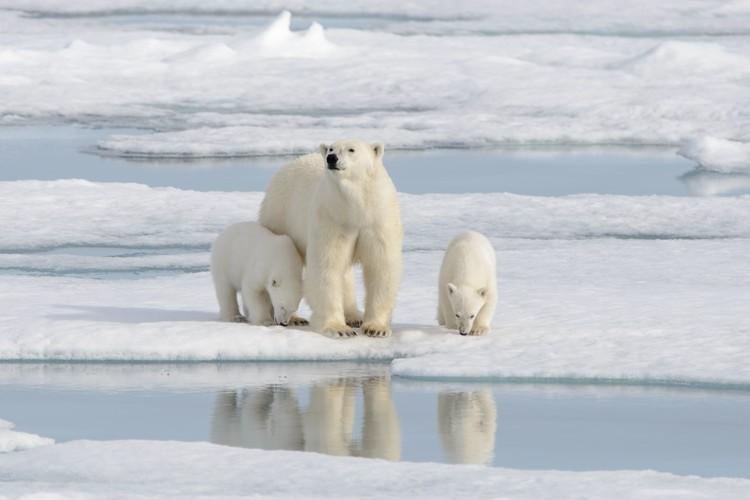 От потепления в Арктике страдают ее обитатели