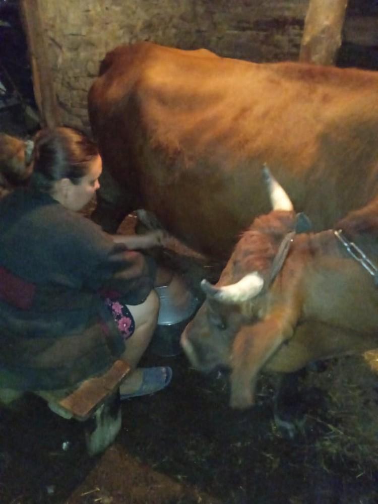 Елена Исаева доит корову-кормилицу