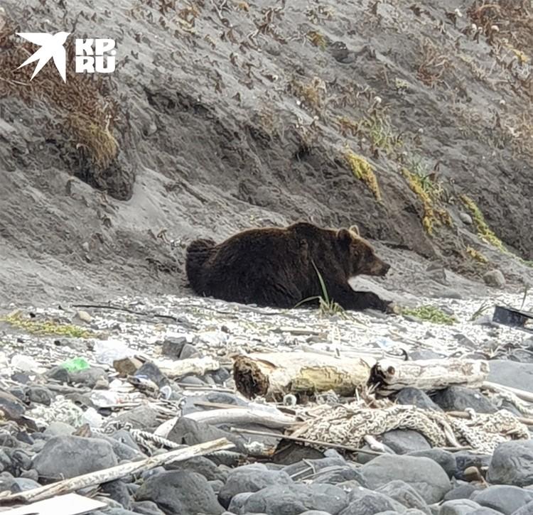 Медведь, пожирающий этот корм вот уже который день. Ученые наблюдали за поведением зверя, он чувствует себя прекрасно. Фото: Александр Соколов