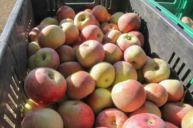 сего в саду высажено 9 сортов яблок: «Фуджи», «Ред Чиф», «Ренет Симиренко», «Либерти», «Брэбвэл», «Леди Крым», «Джокос», «Гала» и «Голд Крым»