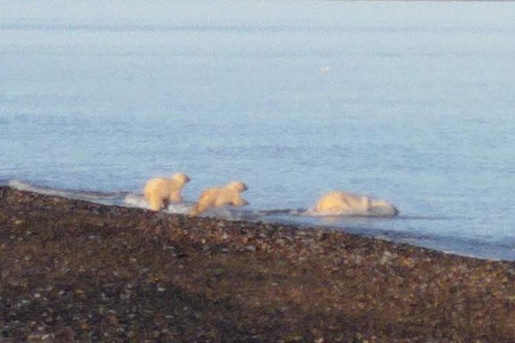 Количество медведей не перестает расти. Фото: Татьяна Миненко/WWF России.