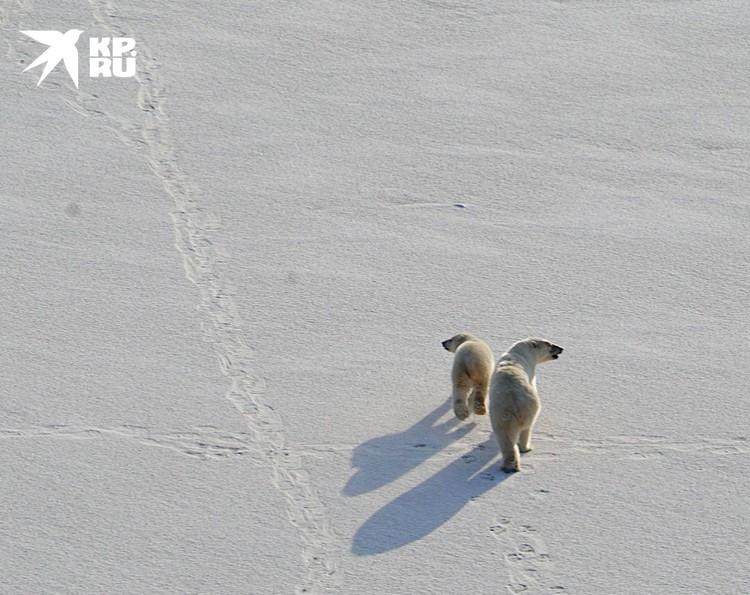 Медвежонок то и дело норовит обогнать мамашу. Фото Николая Николаева