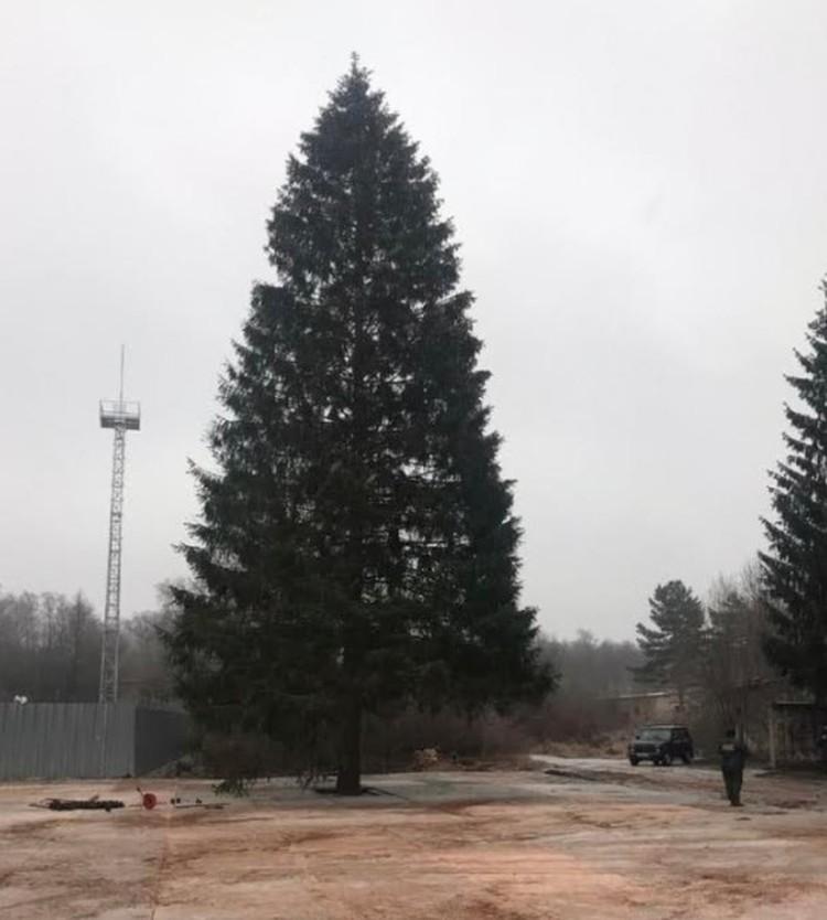 Главная елка страны, которую вскоре отправят в Кремль, выросла под Наро-Фоминском.