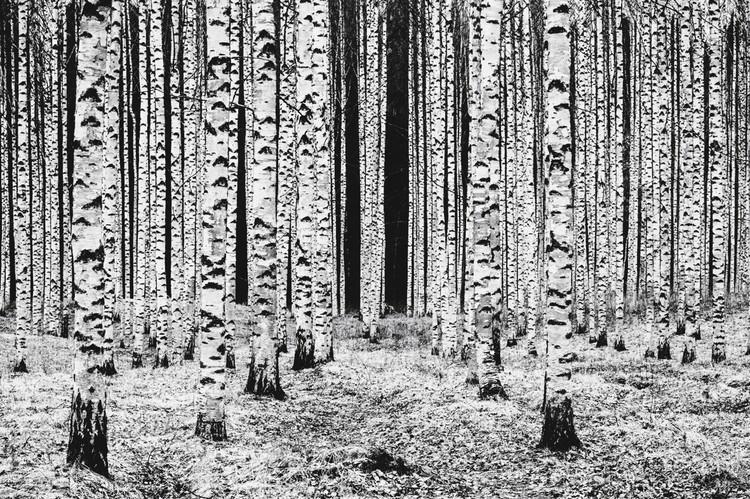 Кирси Маккензи (Финляндия). «Березовые колонны». Категория «Черное и белое». Фото: Kirsi MacKENZIE
