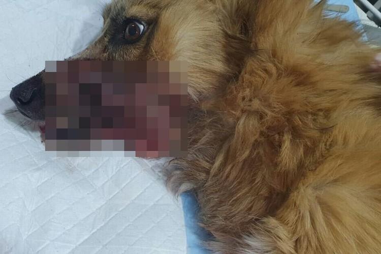 Врачам придется полностью восстанавливать нижнюю челюсть собаки. Фото: «Сохрани жизнь. Помощь бездомным животным»
