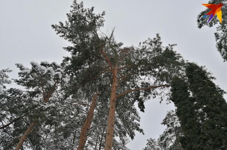 Вот на этой сосне не выдержала крона, и под тяжестью снега крупный обломок дерева упал на могилы. Фото: Наталья СВЕТЛОВА