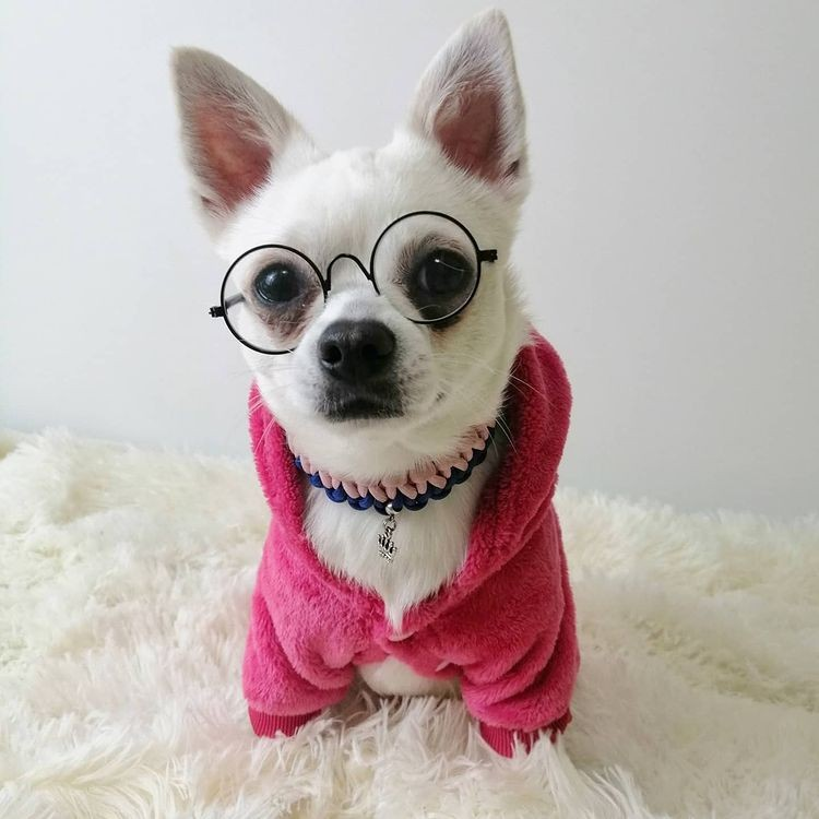 Образы Пухли дополнены специальными аксессуарами для собак. Фото: instagram.com/mr.puxla