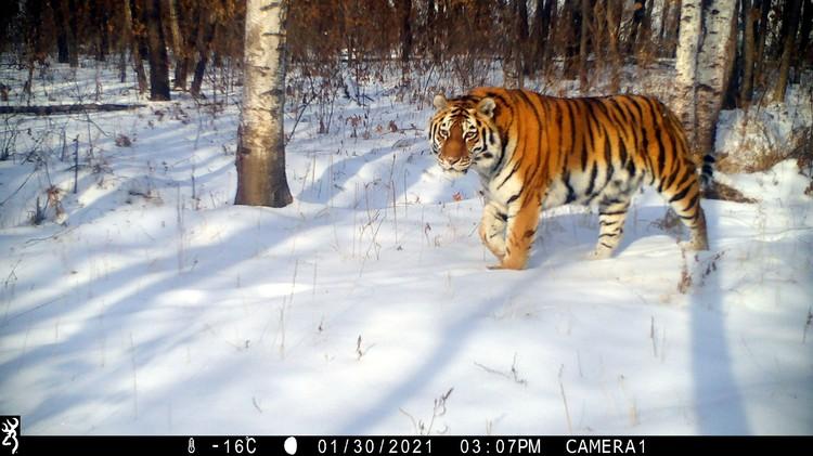 Тигрицу Светлую поймали в Приморье в феврале 2013 года