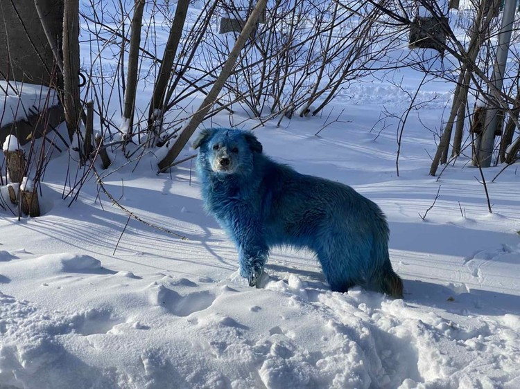 Шерсть семи собак была окрашена в сине-голубой цвет. Фото: Алексей Ганин