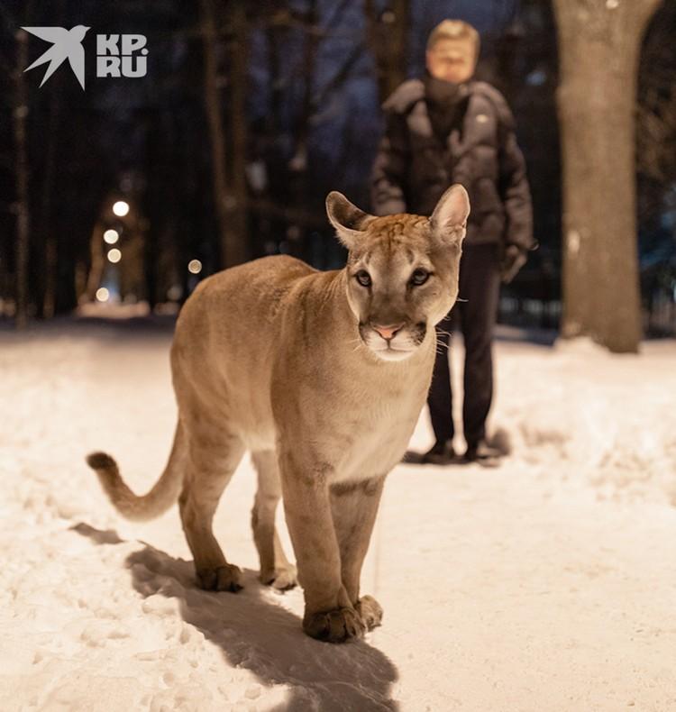 Чтобы лишний раз не смущать народ, Сергей выходит с пумой ночью.
