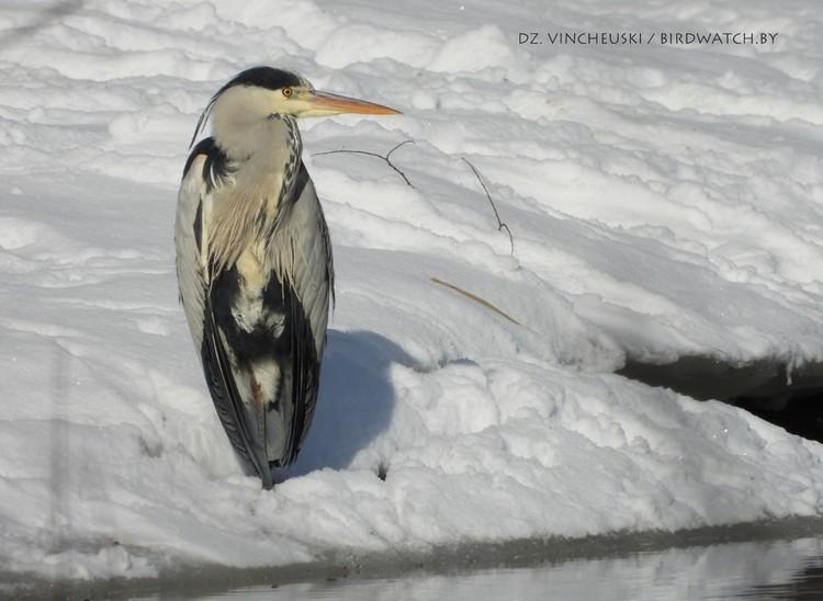 Серая цапля вернулась в Беларусь одной из первых. Фото: birdwatch.by