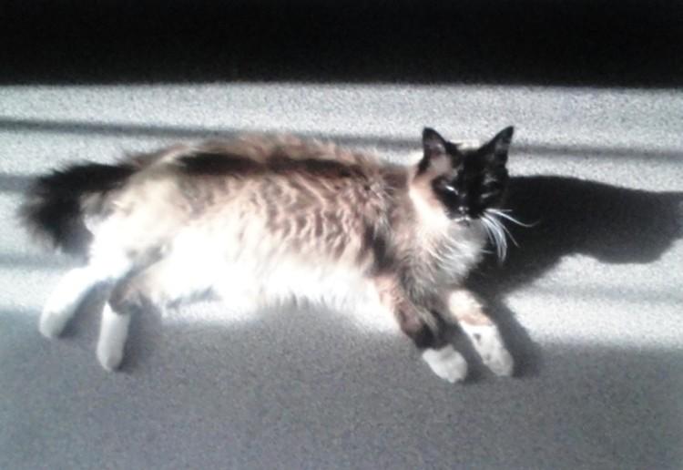Пропавшая в феврале кошечка Урсула