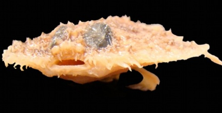 Глубоководная рыба Halieutichthys напоминает летучую мышь.