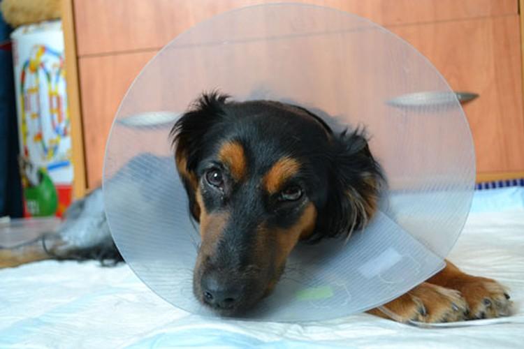 Умная собака стойко переносила все нужные процедуры.