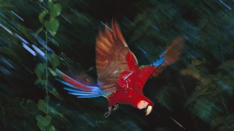 Красный ара - символ страны Гондурас.