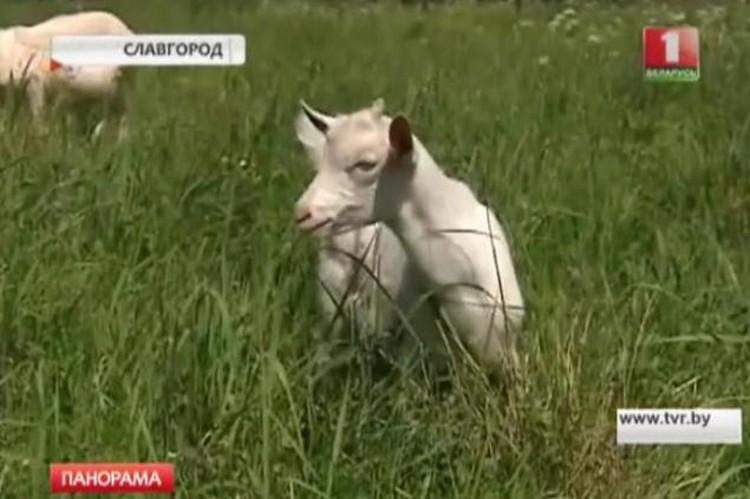 """Дарик щипет травку и ест геркулес с молоком. Фото: Фото: скрин видео АТН """"Агентство телевизионных новостей"""" НГТРК."""