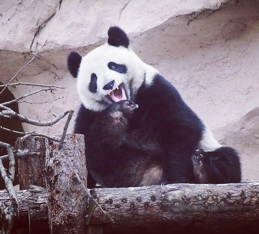 Панда Диндин из Московского зоопарка